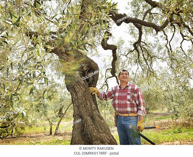Man pausing while pruning olive branches