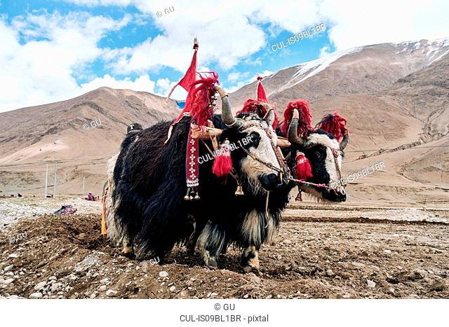 Yaks dressed up to work on field, Namco, Xizang, China