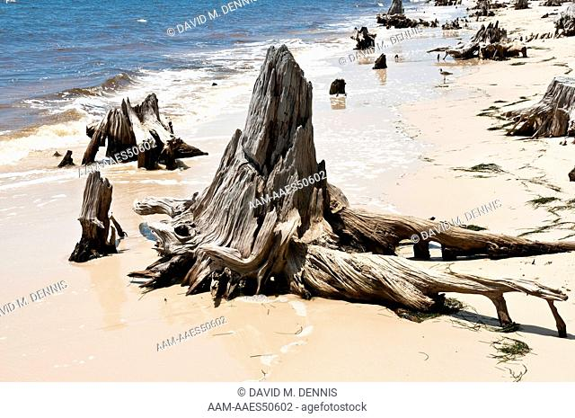 Stumps of dead Pine Trees show how much Erosion has occurred along the Coast line of the Gulf of Mexico, Franklin Co. FL