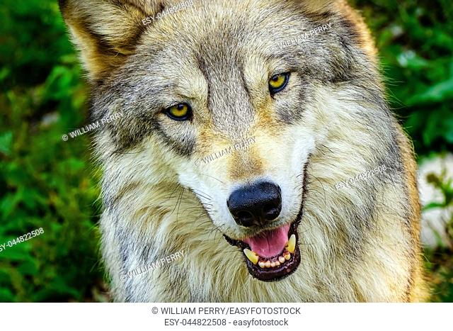 Gray Timber Western Wolf Canus lupus Yellow Eyes