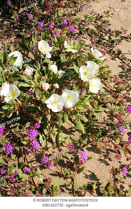 Desert Evening Primroses and Sand Verbena, Anza Borrego Desert State Park, California, USA. Spring, 2005