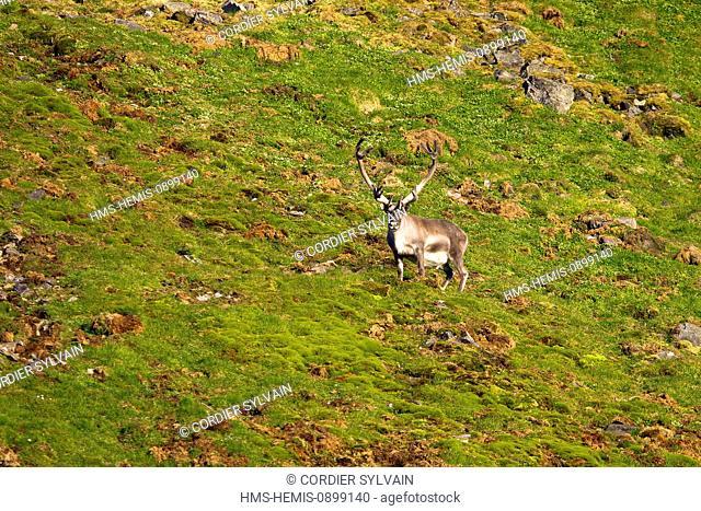 Norway, Svalbard, Spitsbergern, Reindeer (Rangifer tarandus)