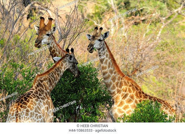 Giraffe, Camelopardus, Ulusaba Sir Richard Branson's Private Game Reserve, Sabi Sands Game Reserve, Mpumalanga, South Africa, three, group