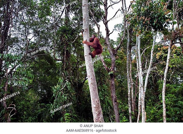 Bornean Orangutan sub-adult male 'Oman' climbing a tree - wide angle perspective (Pongo pygmaeus wurmbii). Camp Bulu, Lamandau Nature Reserve