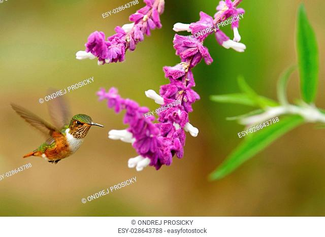 Scintillant Hummingbird, Selasphorus scintilla