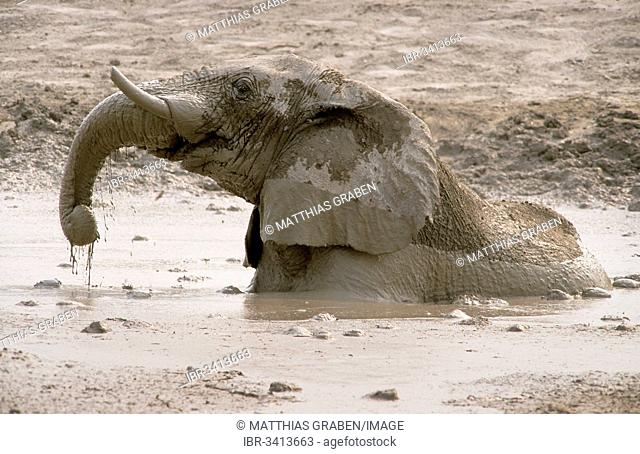 African Bush Elephant (Loxodonta africana) taking a mud bath
