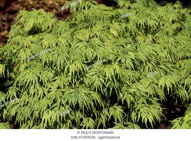 Maple (Acer sp ), Stock Photo, Picture And Rights Managed
