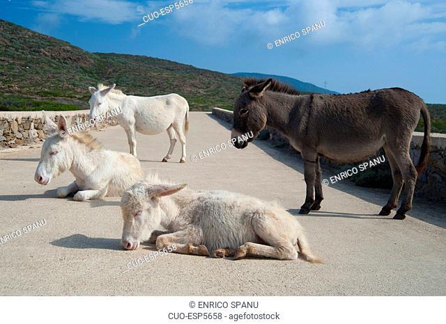 Asinelli bianchi, (white donkeys), Asinara Island National Park, Porto Torres, North Sardinia, Italy, Europe