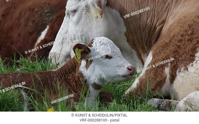 A ruminating calf is resting amidst the herd on a green meadow in summer. Nordingrå, Västernorrlands Län, Sweden