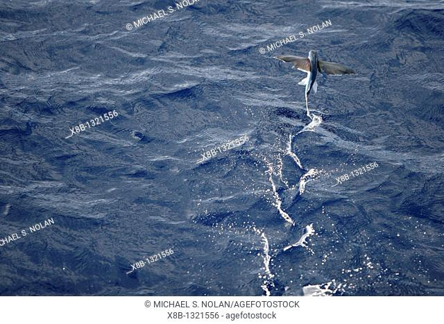 Atlantic flying fish Cypselurus melanurus fleeing the bow and taking flight for safety near Ascension Island in the Atlantic Ocean