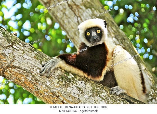 Southern Africa, Madagascar, lemurs, Verreaux's sifaka