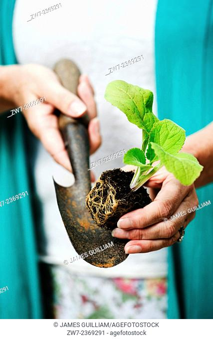 Digitalis Foxglove young plant resting on hand trowel being held in female hands close up