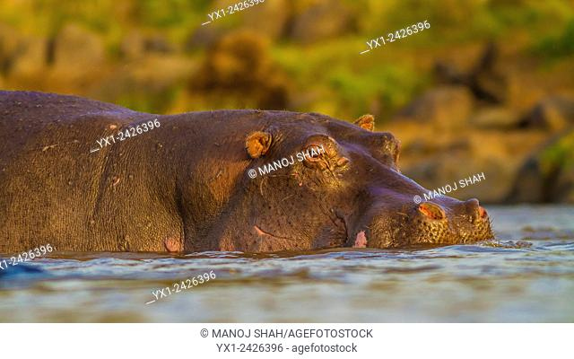 Eye level close up of Hippo in water. Masai Mara National Reserve, Kenya