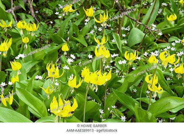 Glacier Lilies (Erythronium grandiflorum) and Sandwort (Arenaria) Leigh Lake, Cabinet Mountains Wilderness, Kootenai National Forest, Montana