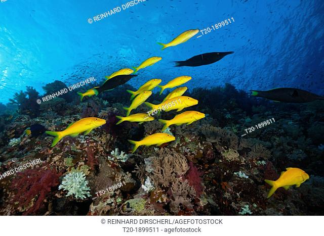 Shoal of Goldspotted Goatfish, Parupeneus cyclostomus, Shaab Maksur, Red Sea, Egypt