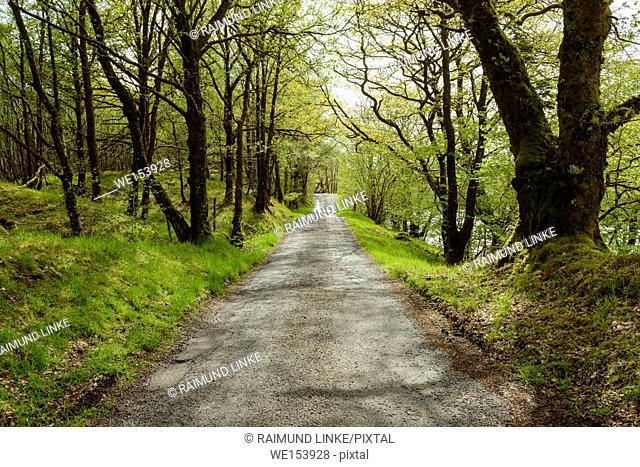 Scottish single track road street lined with old oak trees in spring, River Orchy, Scotland, United Kingdom