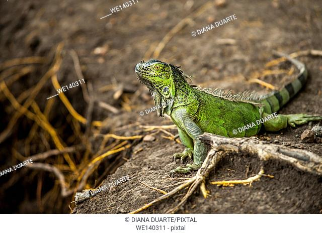 'Green Iguana ( Iguana iguana )'. Primarily herbivores, iguanas are active during the day, feeding on leaves, flowers, and fruit