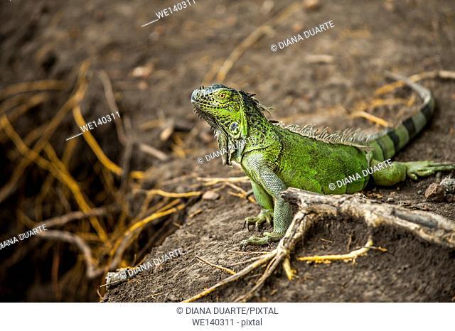 'Green Iguana ( Iguana iguana )'. Primarily herbivores, iguanas are active during the day, feeding on leaves, flowers, and fruit