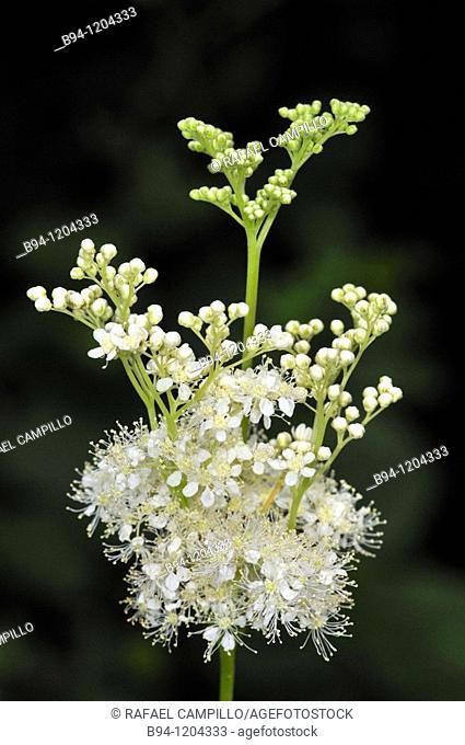 Meadowsweet (Filipendula ulmaria, fam. Rosaceae). Osseja, Languedoc-Roussillon, Pyrenees Orientales, France