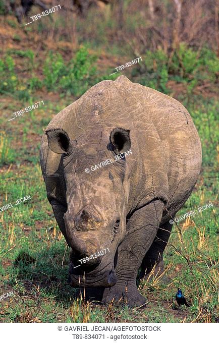 White Rhinoceros Ceratotherium simum: