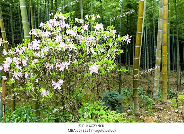 Blossoming azalea and bamboo, garden of the Tenryuji Temple, branch of the Rinzai Zen Buddhism, UNESCO-world cultural heritage, Arashiyama, Kyoto, Kinki region