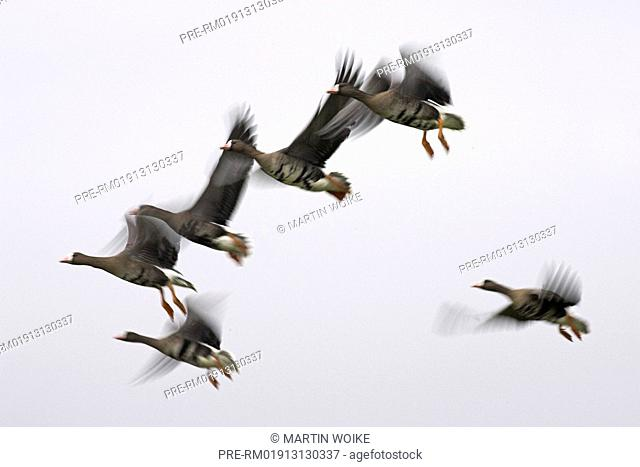 Flying Greater white-fronted geese, Anser albifrons