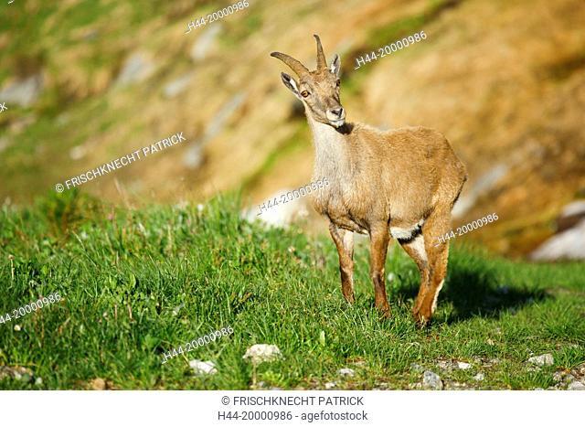 Capra ibex, Ibex, Switzerland