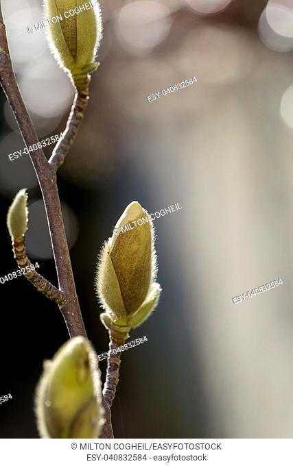 Magnolia buds growing in the late winter sunshine