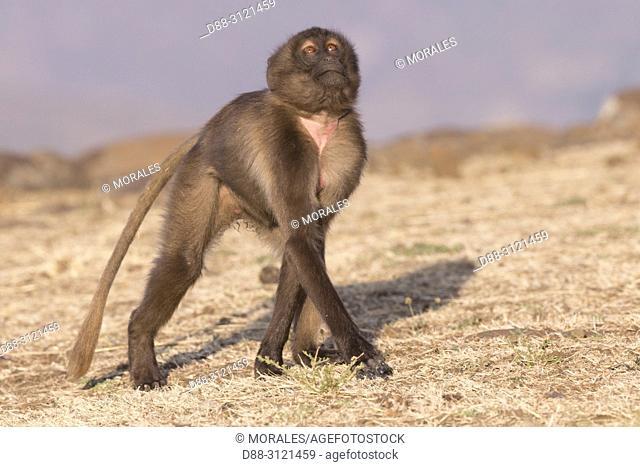 Africa, Ethiopia, Rift Valley, Debre Libanos, Gelada or Gelada baboon (Theropithecus gelada), Young alone