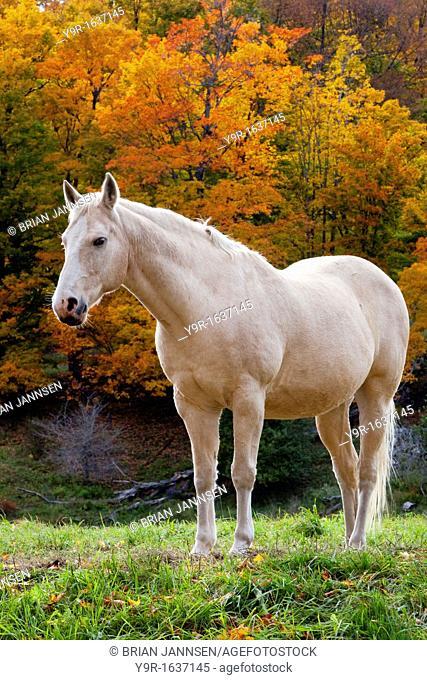 White mare in autumn near Woodstock, Vermont, USA