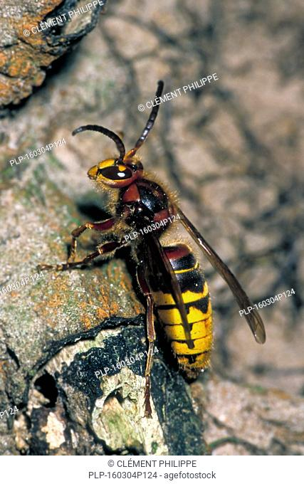 European hornet (Vespa crabro), largest eusocial wasp in Europe