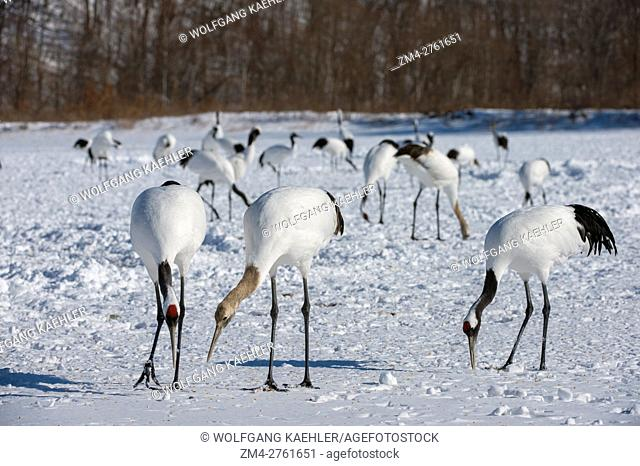 A family of endangered Japanese cranes (Grus japonensis), also known as the Red-crowned cranes, which are one of the rarest cranes in the world