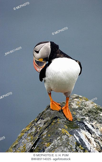Atlantic puffin, Common puffin (Fratercula arctica), at resting place, Norway