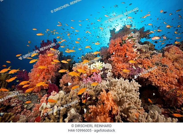 Lyretail Anthias over Coral Reef, Pseudanthias squamipinnis, Red Sea, Ras Mohammed, Egypt