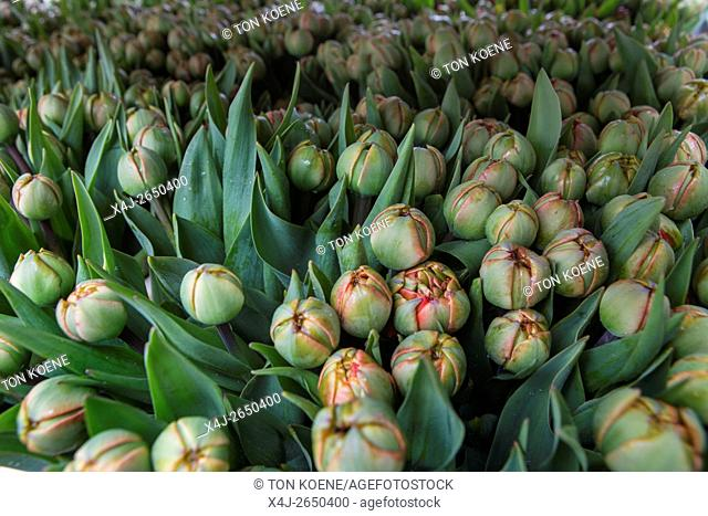 processing of tulips after being harvested. Most workers are Polish