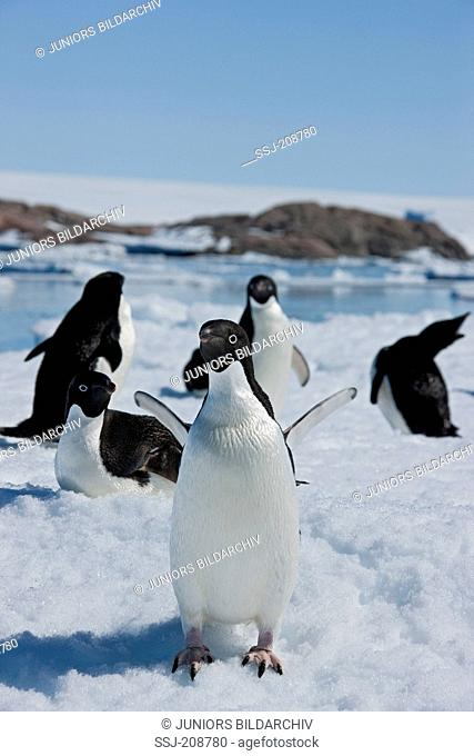 Adelie Penguin (Pygoscelis adeliae). Group standing on ice at the coast. Antarctica. No exclusive sales !