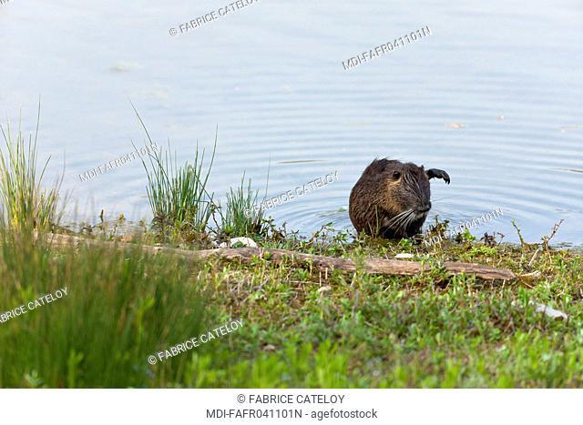 Nature - Fauna - Coypu - Coypu going out water