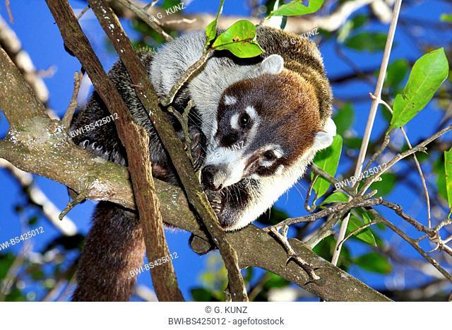 White-nosed coati (Nasua narica), climbs on a tree, Costa Rica