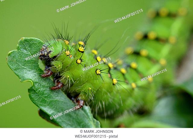 Caterpillar of Small Emperor moth on a leaf