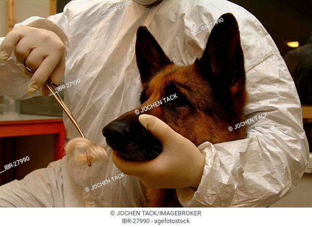 DEU, Germany, NRW: Police dogs can find out the smell of a criminal at a crime szene and compare it with the smell of a suspicious person