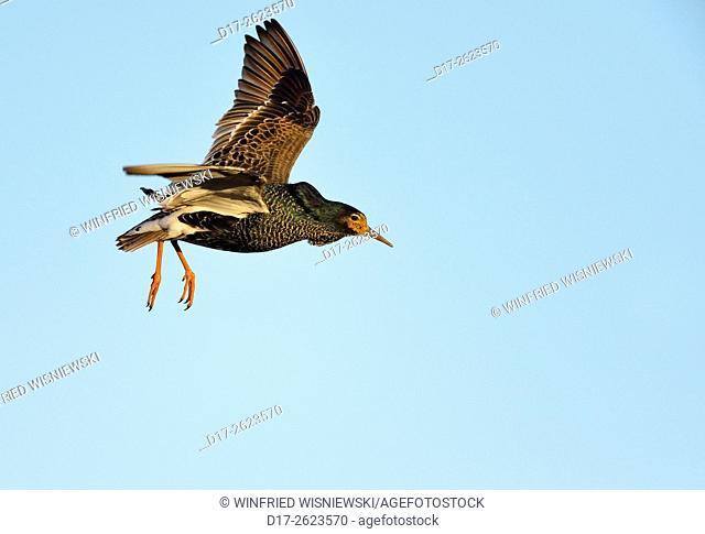 Ruff (Philomachus pugnax) in flight. Norway