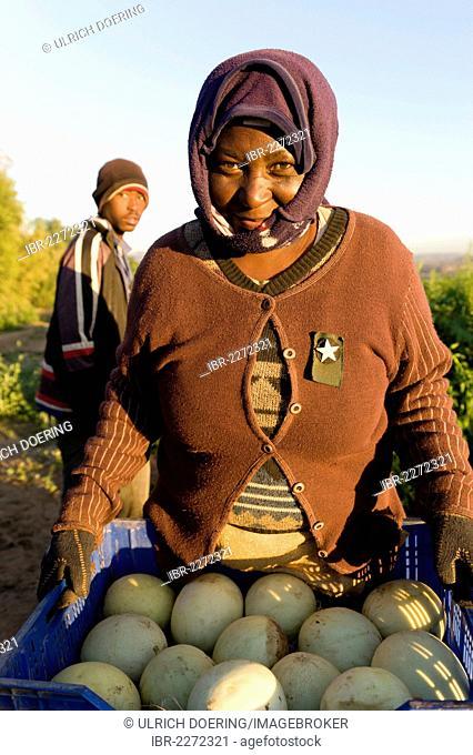 Farm worker harvesting melons, Noordoewer, Namibia, Africa