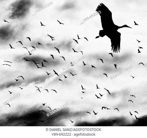 Stork. Manzanares el Real, Madrid province, Spain