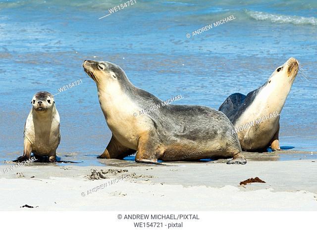Seal Bay, Kangaroo Island, South Australia, Australia