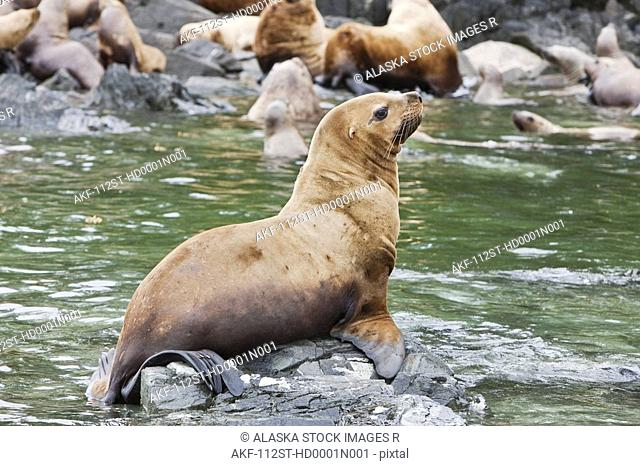 Steller Sea Lions resting in a rookery on Sail Island in Frederick Sound in the Inside Passage of Southeast Alaska, Summer