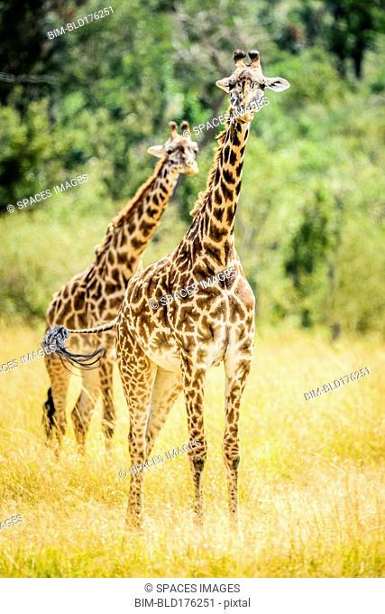 Giraffes walking in savanna