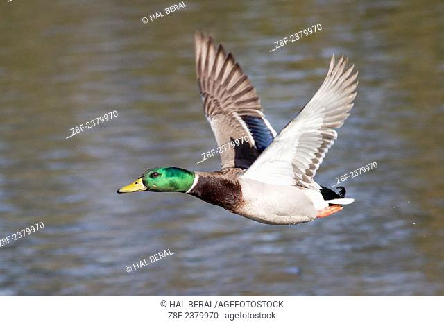 Male Mallard Duck in flight