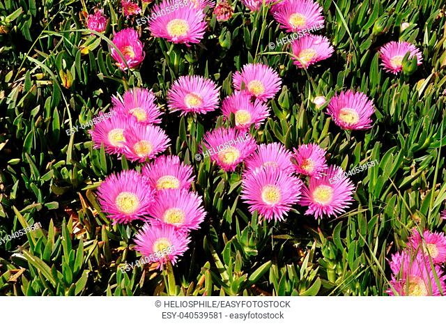 Patch of pink Hottentot figs in Brittany in France