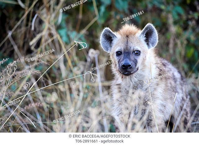 Spotted hyaena (Crocutta crocutta) in high grass. Moremi National Park; Okavango delta; Botswana; Southern Africa