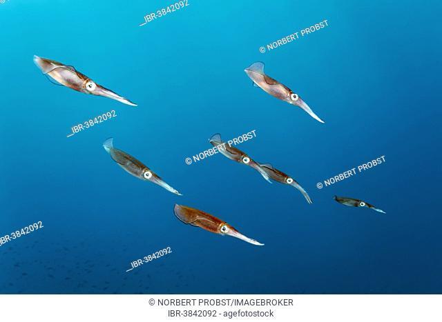 Bigfin reef squid (Sepioteuthis lessoniana), Dimaniyat Islands nature reserve, Al Batinah region, Oman